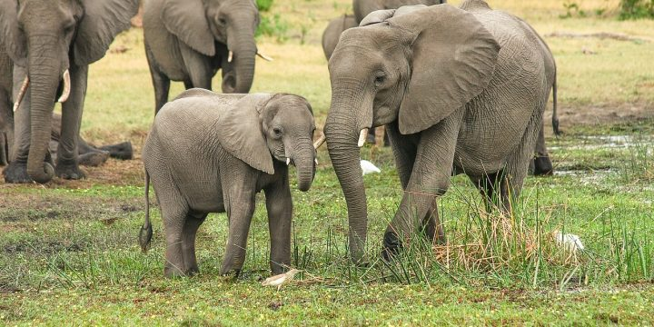 Elephants Taken Advantage Of For Tourist Industry